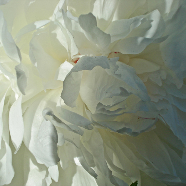 White Peony Shadow and Light