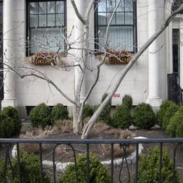 Commonwealth Ave Tree