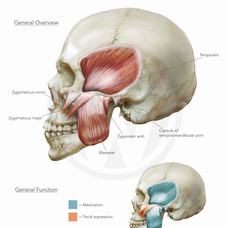 ZYGOMATIC ARCH MUSCLES