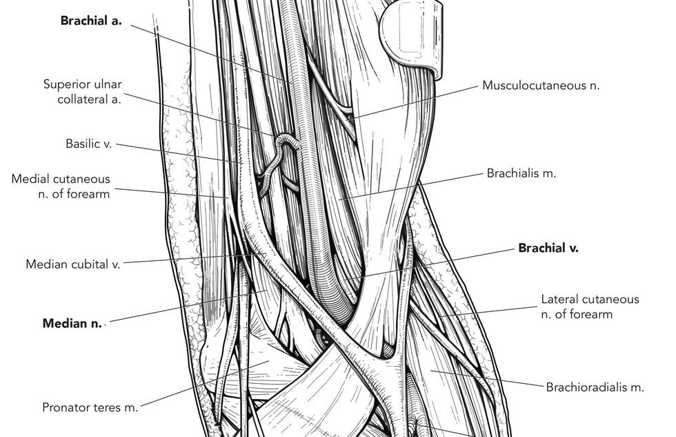 Anatomy in line cubital fossa  copy.jpg