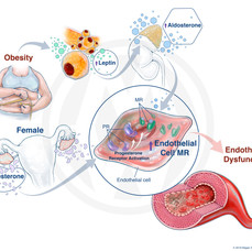 HOW OBESITY IN FEMALES CAN LEAD TO ENDOTHELIAL DYSFUNCTION
