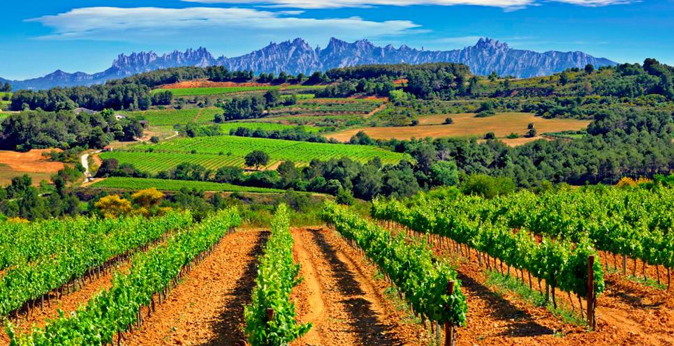 catalan vineyards