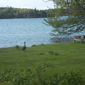 Every spring Lake Midway is home to a family of Canada Geese. Lake Midway is a spring feed lake.