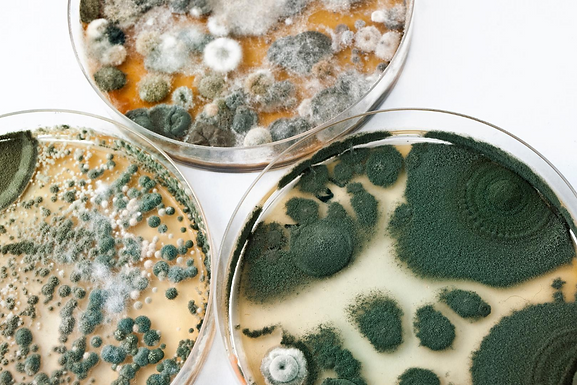 Three petri dishes with various amounts and kinds of mold growing