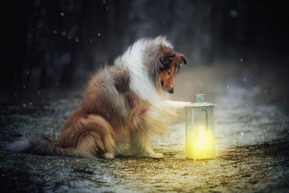 Colli mit Lampe im Winter