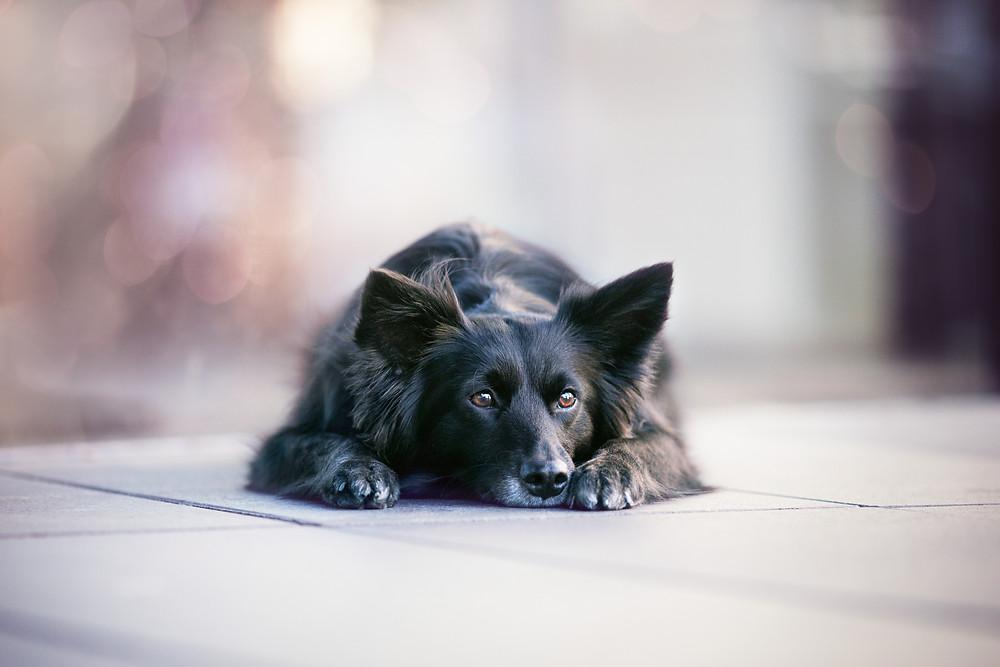 Schwarzer, liegender Hund mit verträumten Blick und einem verschwommenen Hintergrund