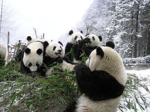 alimentació animal, os panda, bambú, dieta
