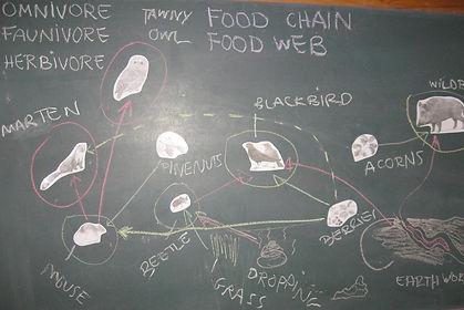 cadena xarxa alimentaria al montseny - processos digestius - food web montseny marten tawny owl