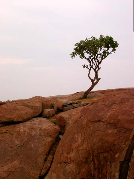 hanumantemple_tree