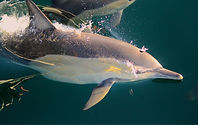 DSA dolphin.jpg