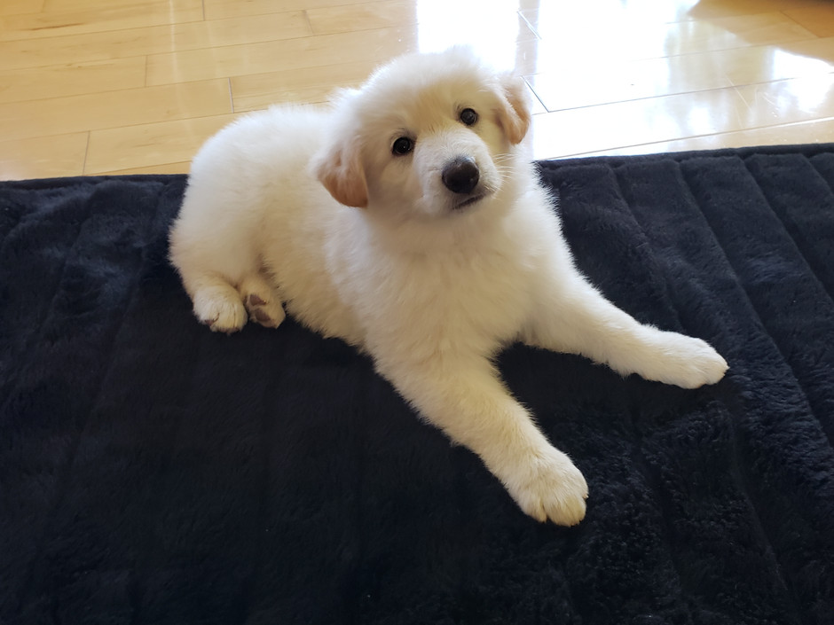 Puppies Available - Born April 24, 2018