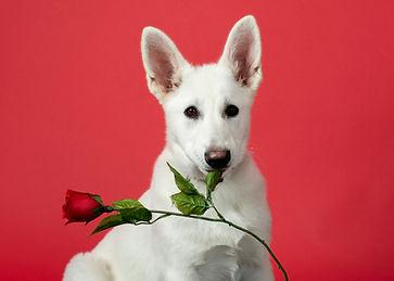 Dogs60 st-Valentin.jpg