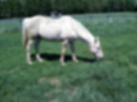 Eddie, a retired QH grazes at Orchard Equine Retirement, leading horse retirement farm