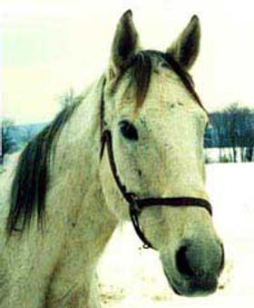 Smokey, OTTB gelding enjoyed his retirement at Orchard Equine Retirement