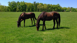 Two retired horses grazing at Orchard Equine Retirement, full care horse retirement farm.