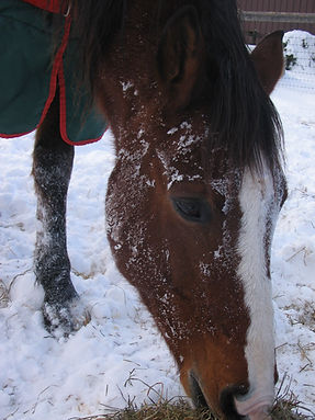 Retired Hanoverian gelding and former dressage competitor after rolling in the snow.