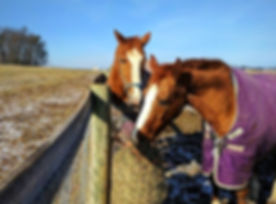 Monti & Molly both in their 30's enjoy hay from a slow feed hay net at Orchard Equine Retirement