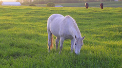 Retired Arabian gelding Phil grazed in the Back Pasture with his herdmates in the background.