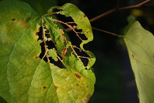 Green Leaf, Vannia Marino