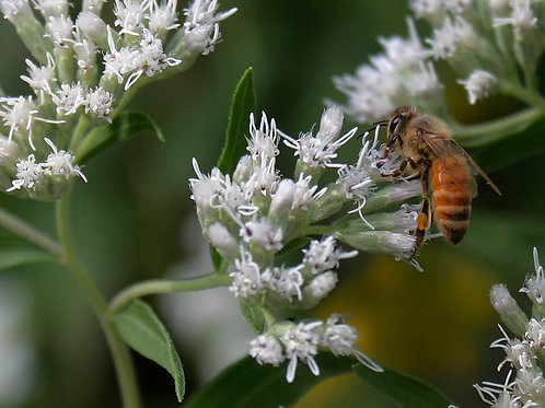 Bees, Daniel Erazo