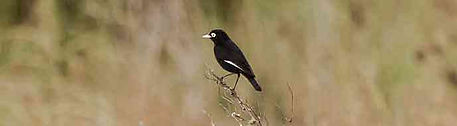 Birding in Buenos Aires - Spectacled Tyrant