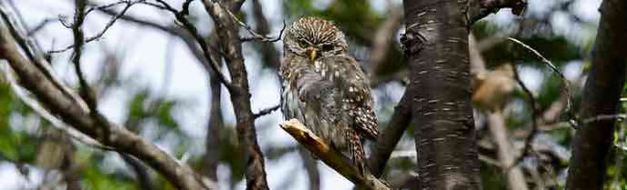 Birding In Tierra del Fuego National Park: It is the ideal place for the observation of the Austral Pygmy Owl