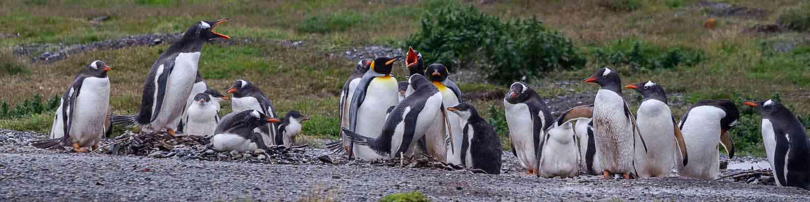 Gentoo Penguin  Birdnig in Ushuaia