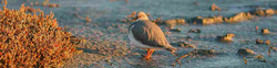 BIRDING IN RIO GRANDE  - MAGELLANIC PLOV