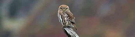 Birding Tours - Austral Pygmy Owl