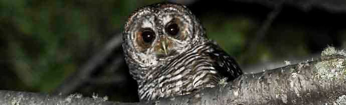 Birding in Ushuaia: NIGHTS TOURS - ROFOUS LEGGED OWL