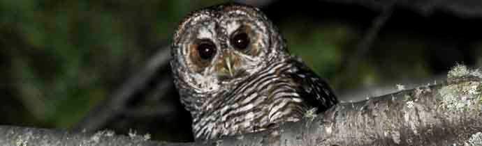 Birding in Ushuaia: NIGHTS TOURS - ROFOUS LEGGED OWL
