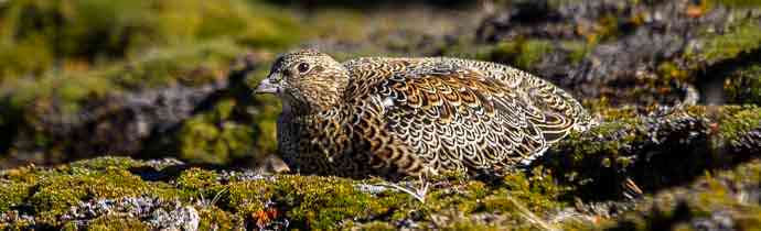 BIRDING IN GARIBALDI PASS - WHITE BELLIED SEEDSNIPE: One of the best places to find it