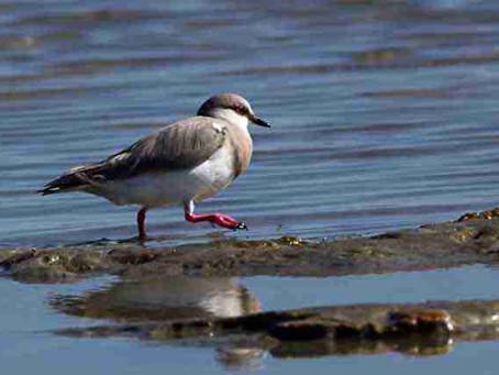 Birding in Tierra del Fuego