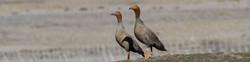 Birding in Tierra del Fuego: Rudy Headed