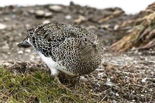 Birding in Garibaldi - WHITE BELLIED SEEDSNIPE