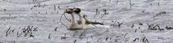 Birding in Patagonia: Hooded Grebe