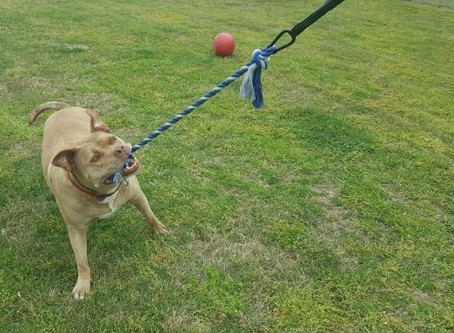 Review: Tether Tug Dog Toy
