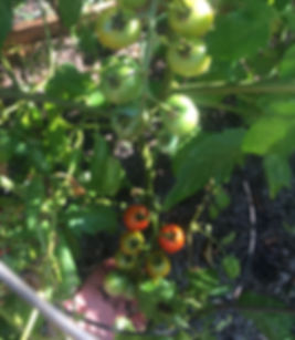 Cherry Tomatoes Ripening veggie fruit on the vine growing vegetables raised bed garden installation