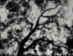 CALIFORINA OAK TREE _ 27''X35'' _ AMBRO
