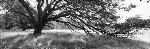 Jasper Oak (2010).jpg