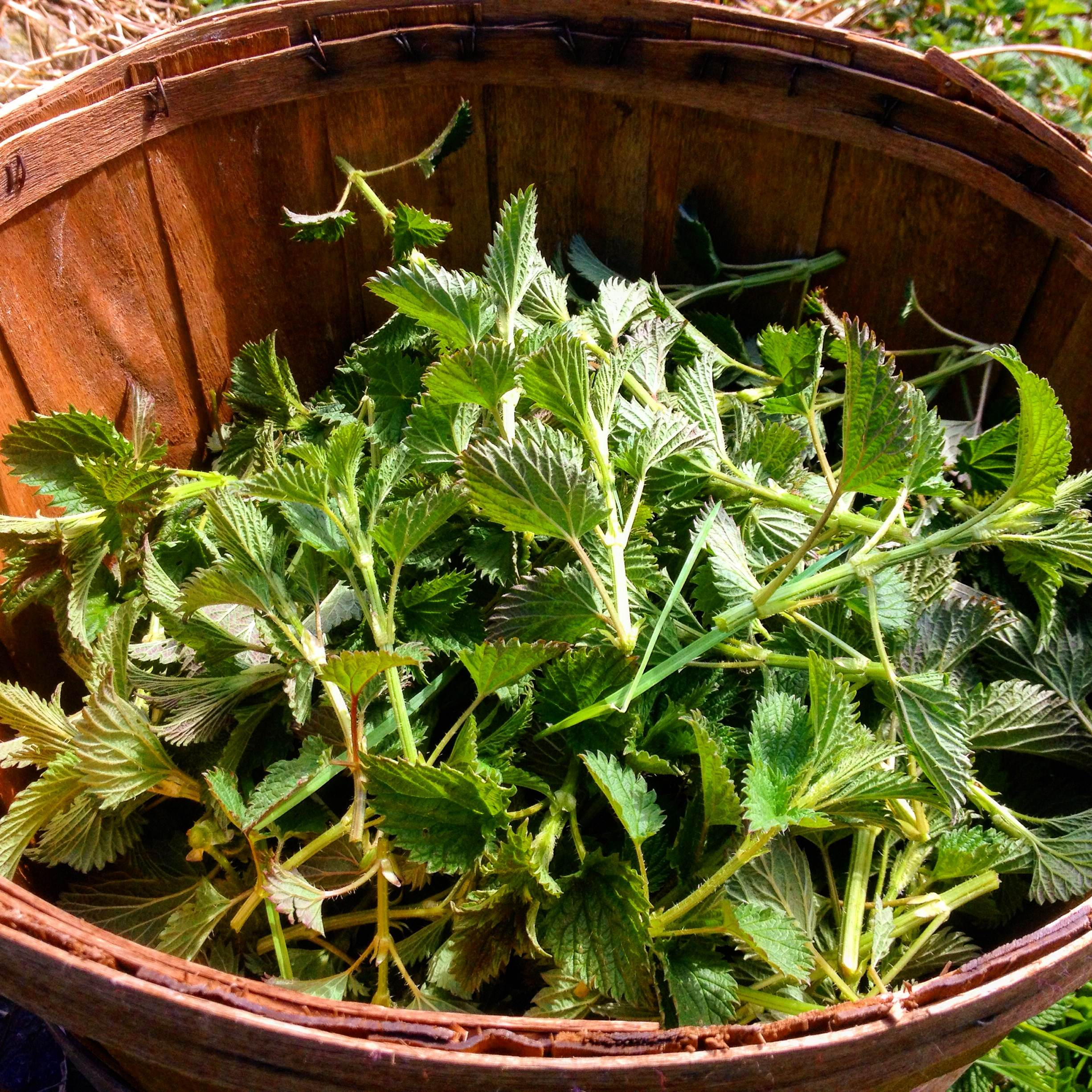 Wild-Harvested Nettle