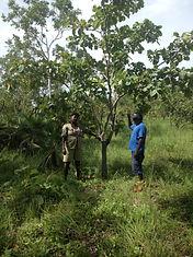 sustainable Kakadu plum harvest Wadeye
