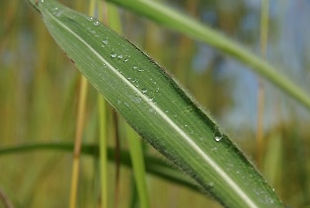 Gamba grass - 4 leaves.JPG