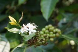 coffee flower buds