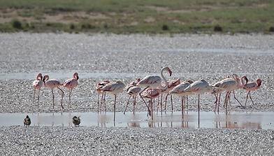 Etosha Namibia Flamingo Population.jpg
