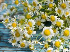 organic Roman chamomile