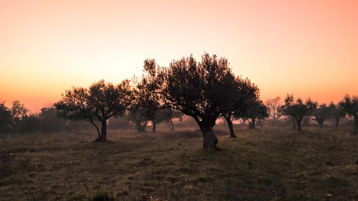 sunset olive tree.jpg