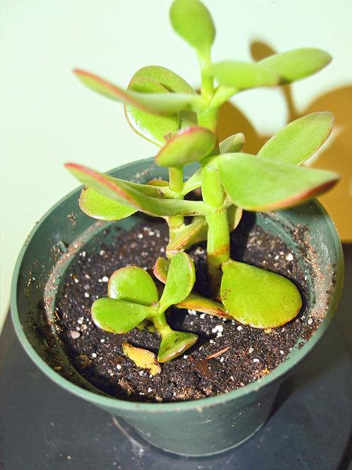 Jade Plant (Crassula Ovata Minima)