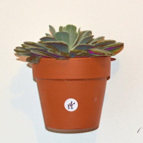 Echeveri Succulent Plant