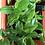Thumbnail: Peperomia Orba (Peperomia Pixie)
